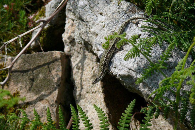 Lézard des murailles dans son milieu de vie © M.Berroneau