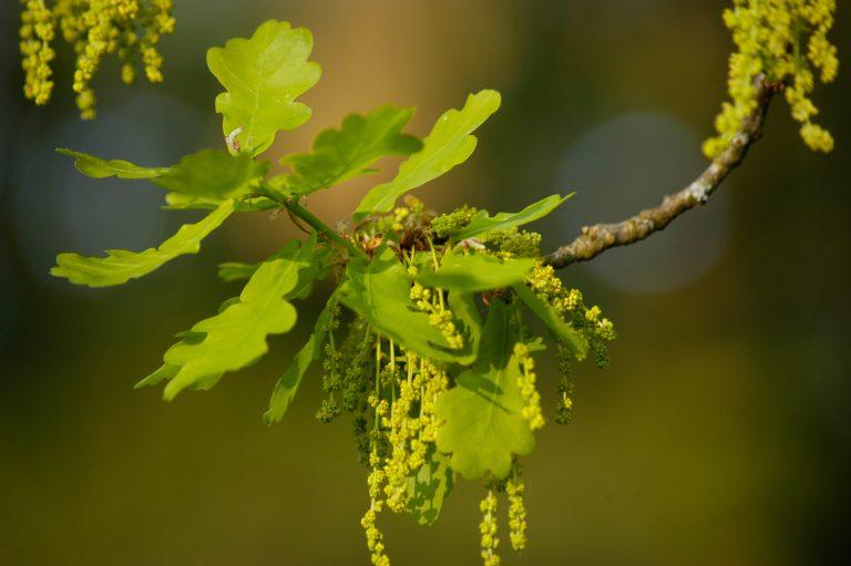 Fleurs du chêne pédonculé - Simon Eugster [CC BY-SA 3.0], via Wikimedia Commons