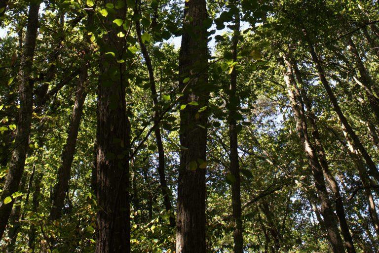 Chêne pédonculé en forêt © M.Berroneau