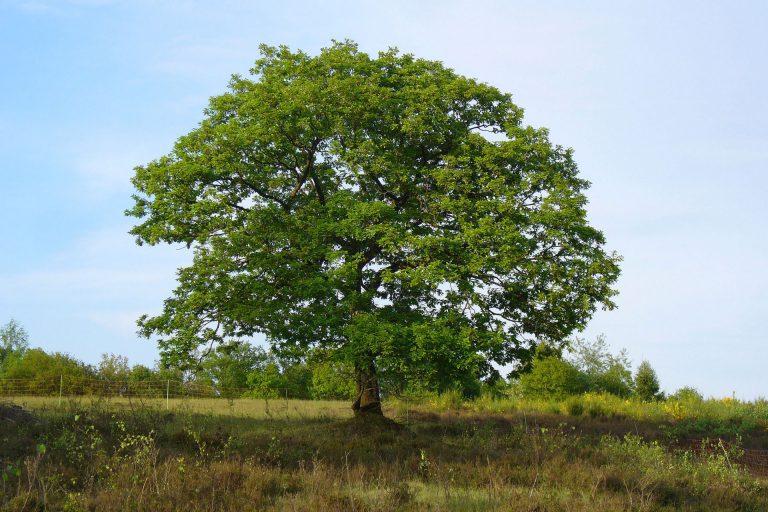 Chêne pédonculé - Sven Gaedtke [CC BY-SA 2.0], via Flickr