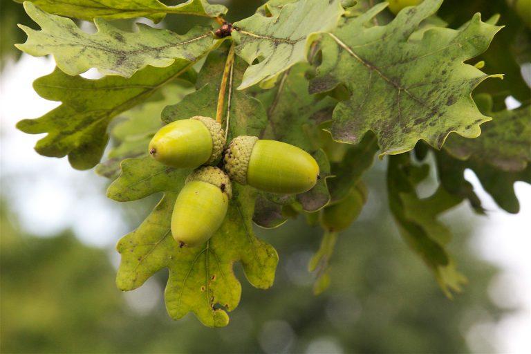 Les glands, fruits du chêne pédonculé - Dan Mullen [CC BY-NC-ND 2.0], via Flickr