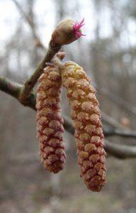 Fleurs mâles et femelles - Anlt Bilund [CC BY-SA 3.0], via Wikimedia